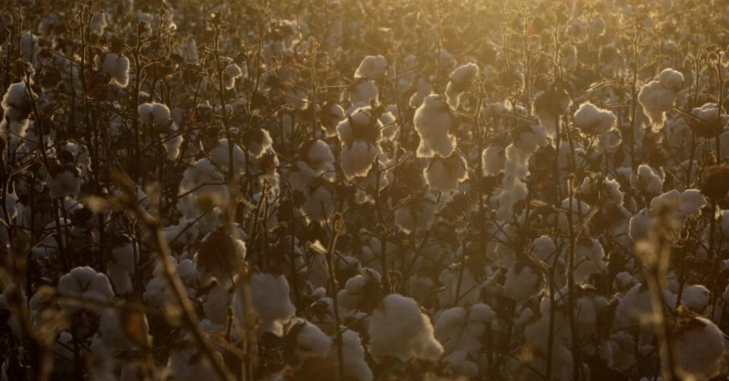 Placeholder - loading - Plantio de algodão no distrito de Roda Velha, próximo a Luís Eduardo Magalhães (BA)  11/09/2018 REUTERS/Ricardo Moraes