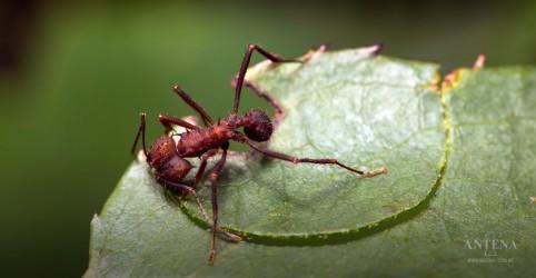 Placeholder - loading - Imagem da notícia Tipo de formiga pode ajudar em relação à resistência aos antibióticos