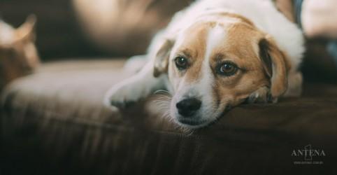 Manter cachorro acorrentado já é crime em Florianópolis