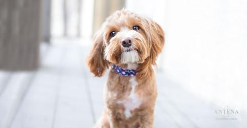 Cachorros usam expressões faciais para se comunicar com os donos