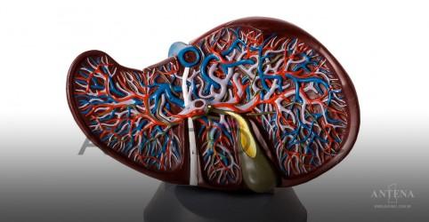 Placeholder - loading - Imagem da notícia Fígado de resina pode melhorar cirurgia