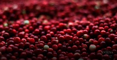 Placeholder - loading - Imagem da notícia Conheça os benefícios do cranberry
