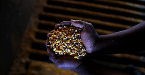Conservadora na previsão de soja do Brasil, Conab vê salto na safra de milho