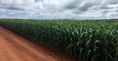 Placeholder - loading - Imagem da notícia Cofco compensa com milho parte da menor demanda por soja no Brasil