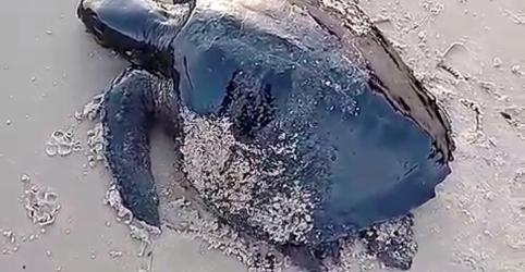 Placeholder - loading - Petróleo no litoral do Nordeste já ameaça 600 filhotes de tartaruga, diz Tamar