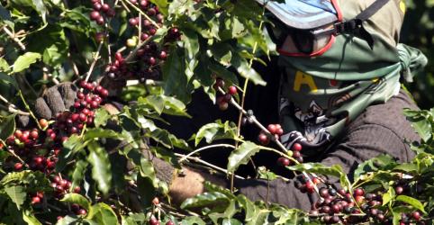 Placeholder - loading - Imagem da notícia ENFOQUE-Brasil deve colher café mais cedo em 2019 por calor e excesso de floradas