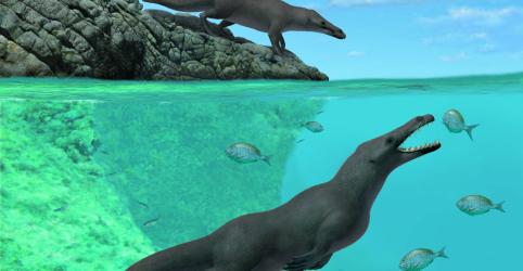 Placeholder - loading - Imagem da notícia Baleia de 4 patas do Peru caminhava e nadava há 43 milhões de anos, dizem pesquisadores