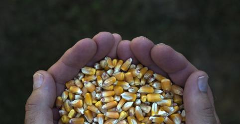 ANÁLISE-Preço firme do milho, apesar de safra recorde, testa setor de carnes do Brasil