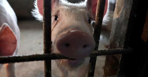 Placeholder - loading - Imagem da notícia Estudo da China alerta para possível novo 'vírus pandêmico' em porcos