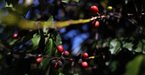 Placeholder - loading - Rabobank vê queda de 10% na próxima safra de café do Brasil