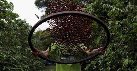 Placeholder - loading - Imagem da notícia Safra de café do Brasil deve cair 22,6% em 2021; associação vê 'erro' da Conab