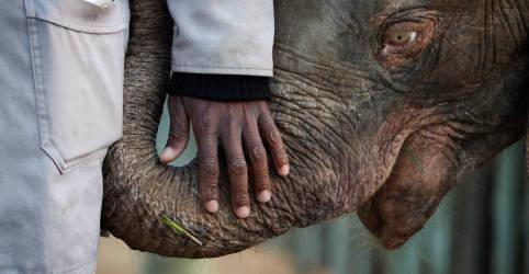 Placeholder - loading - Elefanta albina da África do Sul supera obstáculos e se adapta a manada