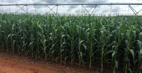 Placeholder - loading - Imagem da notícia Brasil avalia contrato de opção para estimular milho em vez de soja no verão