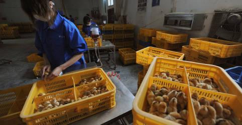 Placeholder - loading - Imagem da notícia China relata primeiro caso humano de gripe aviária H10N3