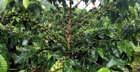 Placeholder - loading - Exportação de café do Brasil tem menor nível em 14 anos após greve de caminhoneiros