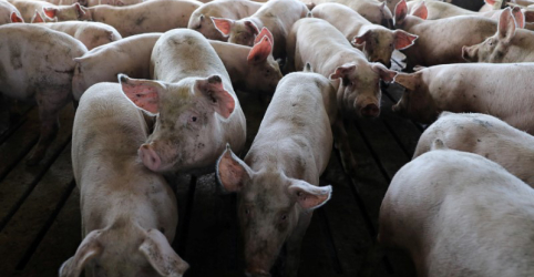 China inicia inspeções de emergência em fazendas após surto de gripe suína
