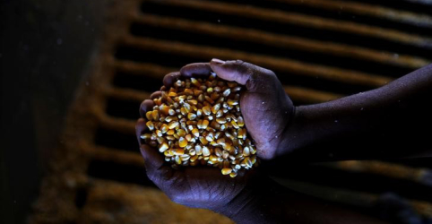 CORREÇÃO (OFICIAL)-Conab reduz previsão de safra de milho do Brasil, revê exportação