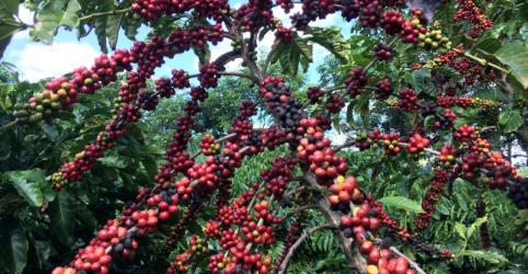 Exportação de café do Brasil salta e supera 3 mi sacas em agosto